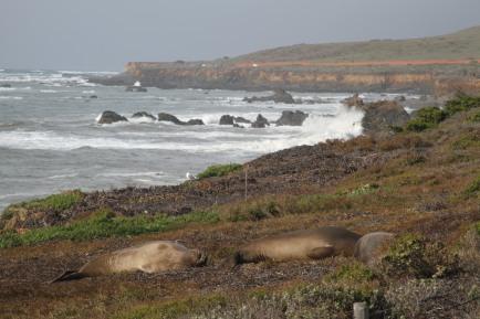 Seeelefanten I'm Big Sur