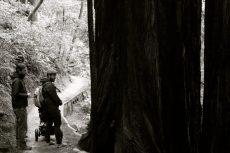 Mammutbaum in Muir Woods, Kalifornien