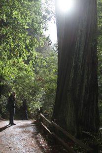Mammutbaum in Muir Woods