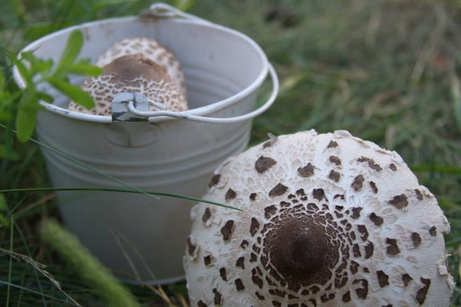 Pilzfund Parasole